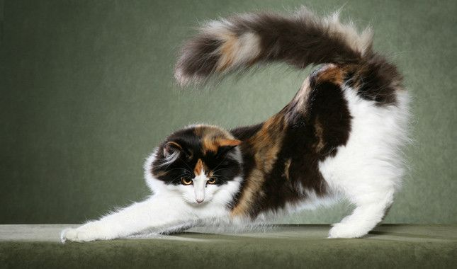 Norwegian Forest Cat Stretching