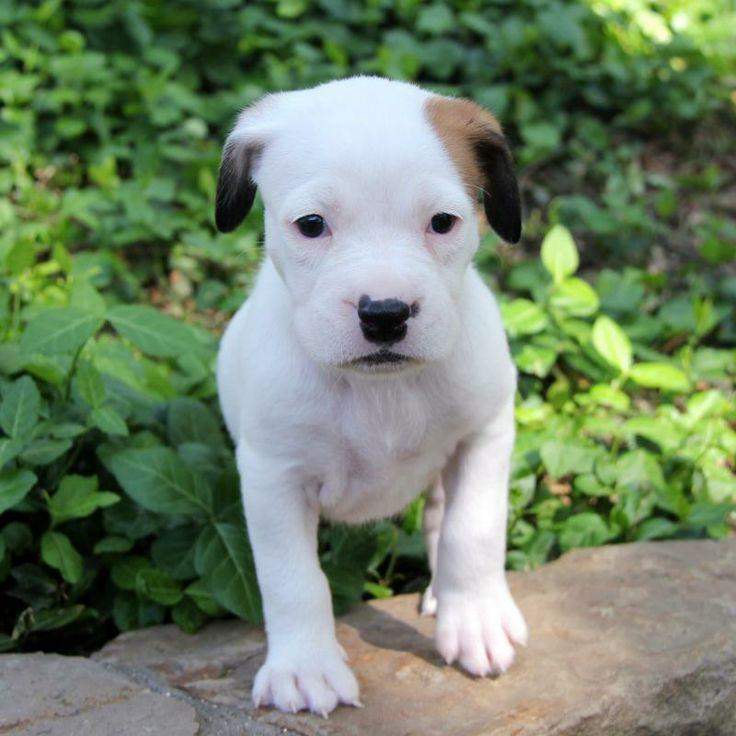 boxer puppies price australia