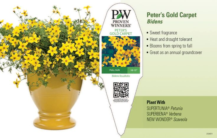 """Peter's Gold Carpet Bidens 11x7"""" Variety Benchcard 