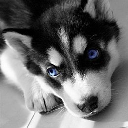 I love this picture! ♥  Siberian Husky Breeder on QualityDogs.com