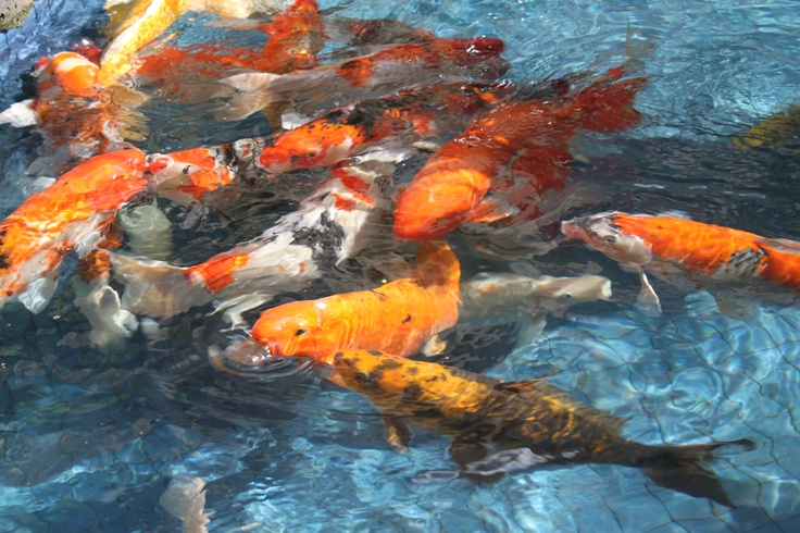 17 best images about some of my favorite things on for Koi feeding