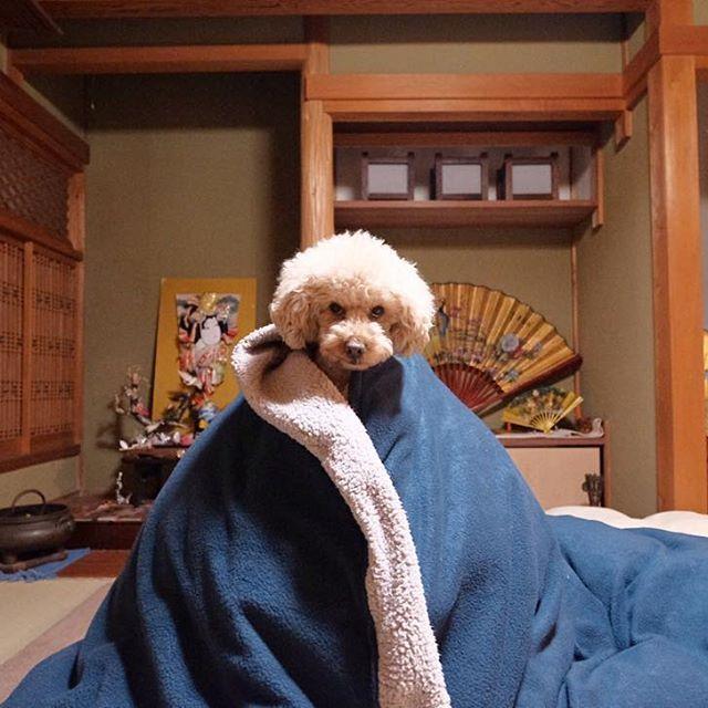 ニッキ2017年📷  Nikki布団コラボレーション🐩  Kobe Japan.  XPRO-2 XF10-24mm  #toypoodle  #poodle #poodlelover #dog #dogstagram #instagramjapan #instagram #dogs #dogoftheday #dogsofinstaworld  #fujifilm_x #5yearsofxseries #ファインダー越しの私の世界 #トイプードル #トイプードル部 #トイプー #portraitmood #カメラ男子 #カメラ女子 #愛犬 #natgeoyourshot #doglife #写真好きな人と繋がりたい #winter #fujifilm_xseries #写真 #カメラ #yourshotphotographer #今日もx日和 #ポートレート