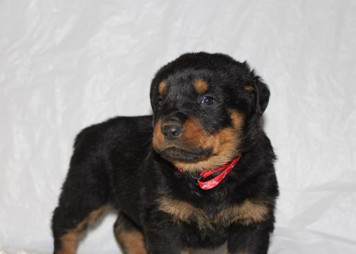 Cabot A Male Akc Rottweiler Puppy For Sale In Indiana Puppies