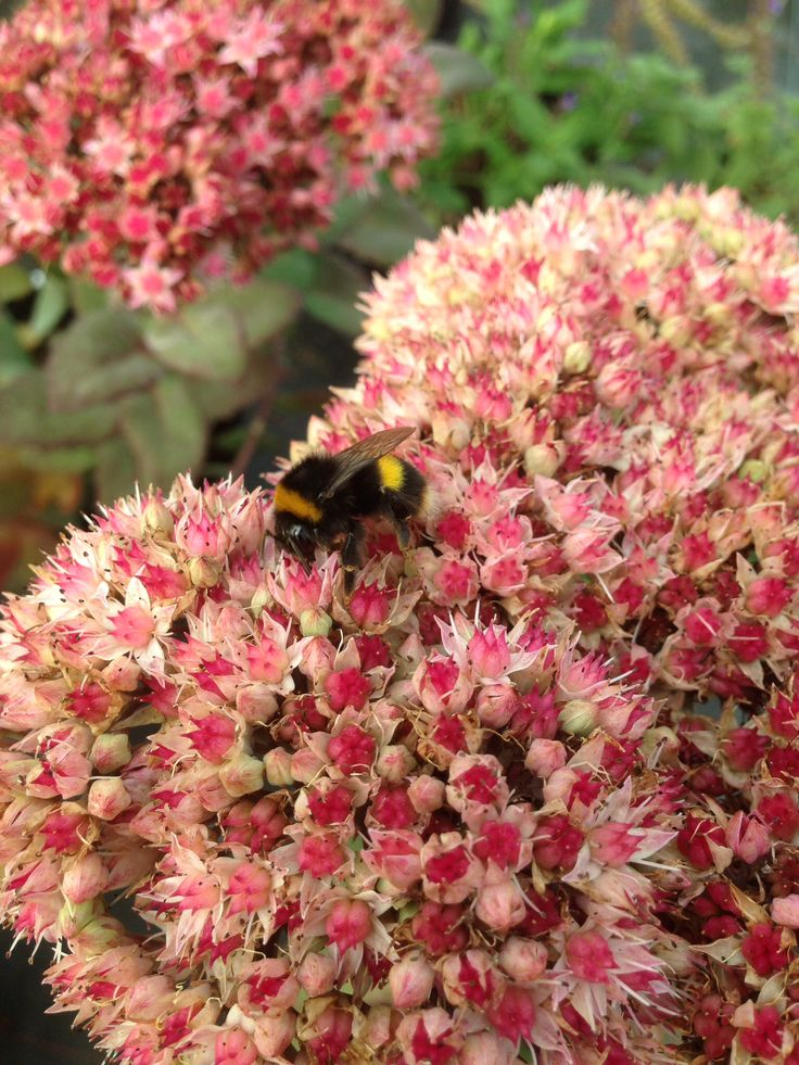 Autumn sedum the bees just love it