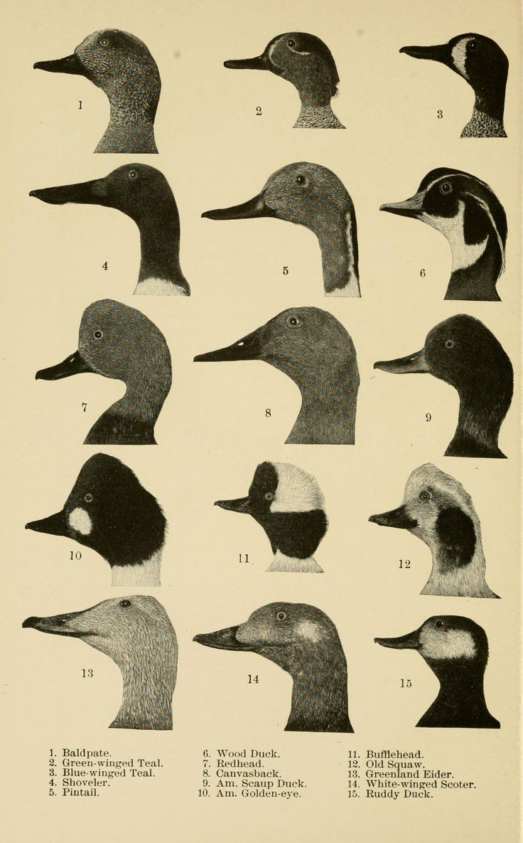 Frank M. Chapman | Handbook of birds of eastern North America: with keys to the species, and descriptions of their plumages, nests and eggs, their distribution and migrations (1898)