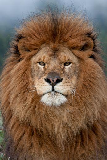 Lion Portrait.