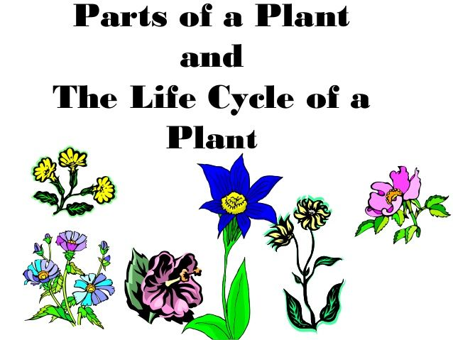 Parts of a Plant and the Life Cycle of a Plant Power Point Slide