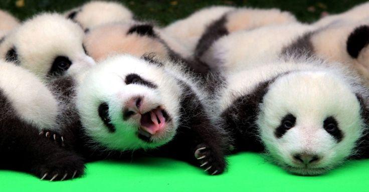 Cerca de 23 pandas gigantes nascidos em 2016 são apresentados no Chengdu Base de Pesquisa de Reprodução do Panda Gigante, na província de Sichuan (China)