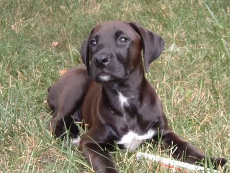 Boxer Lab mix, Boxador - looks like snoopy, huh @Debby Messina
