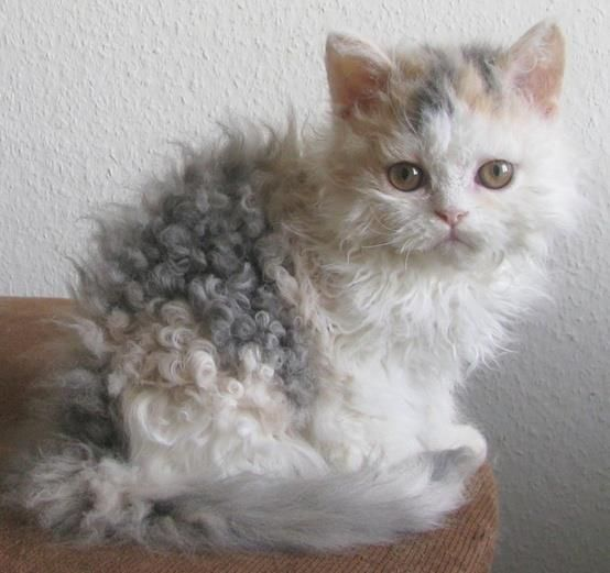 Isn't this baby special? This is a Selkirk Rex cat.
