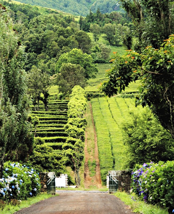 Short Bio on Tea Grown in #Portugal Since 1883 at Gorreana Tea Estate, Azores
