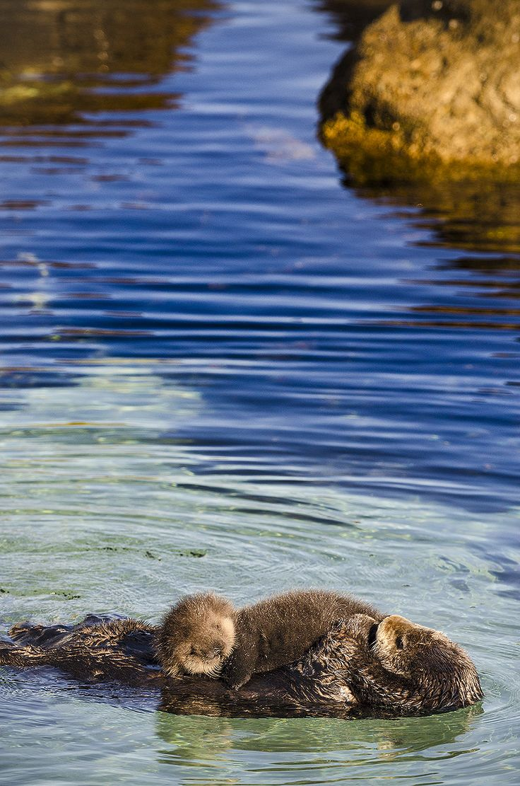 #mother with baby sea #otter