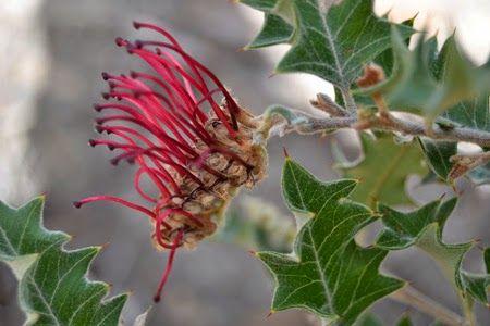 Grevillea Aquifolium, or Holly Grevillea