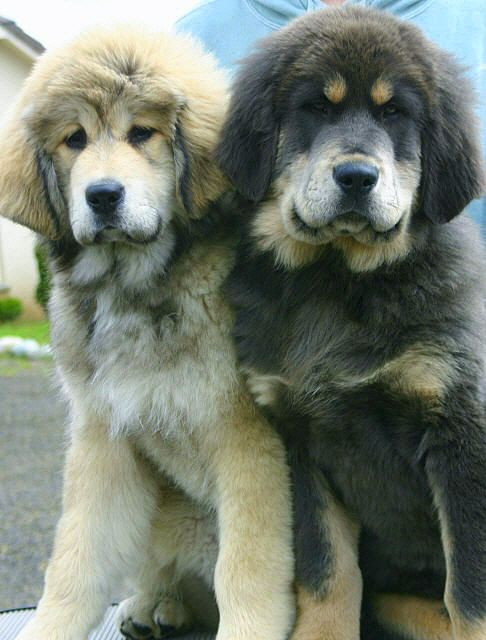 Beautiful Tibetan Mastiff puppies ...........click here to find out more http://googydog.com
