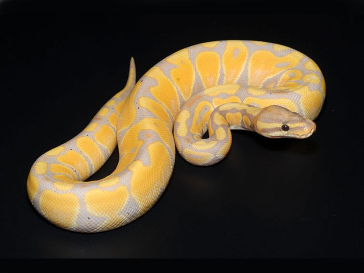 Lesser Bee Ball Python 17 Best images about B...