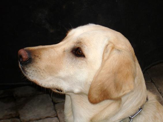 "yellow lab hound mix -   Huck, my ""precious""   Pinterest"