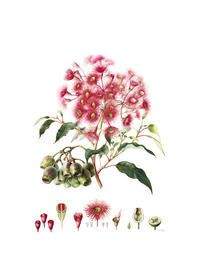 Botanical Art School of Melbourne (and Jenny Phillips, my favorite botanical artist)