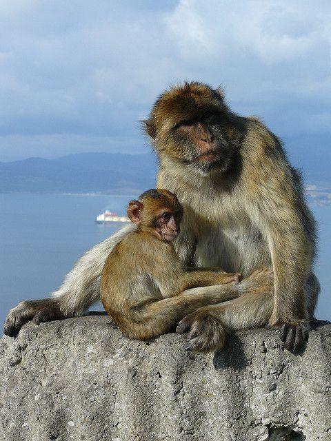 Gibraltar Barbary Apes:   Gibraltar, United Kingdom.  On the background the Strait of Gibraltar and Spain.