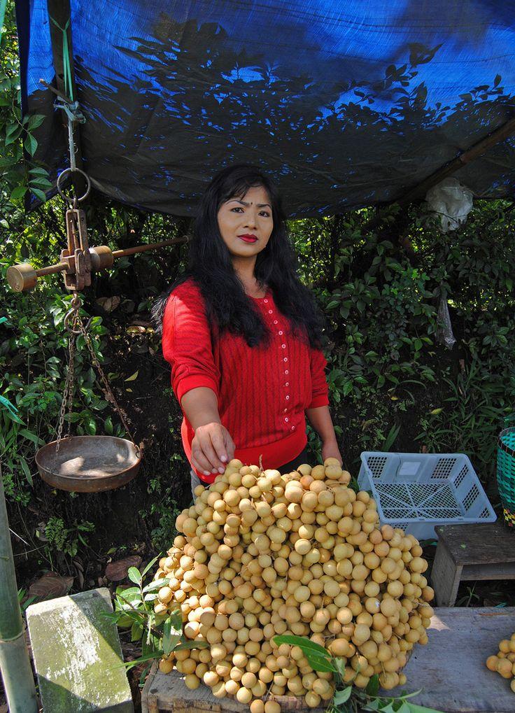 harvesting longan fruit (Kelengkeng) in Indonesia
