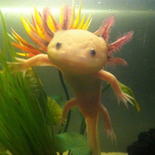 161 best axolotl images on pinterest axolotl amphibians for Water lizard fish