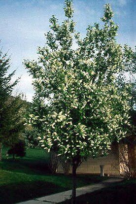 The black chokecherry tree can grow 20 to 30 feet tall. Red to black fruits in late summer. Soil type: prefers sandy soils, rock crevices. Dry soil tolerant. Zones: 2 to 6. Germination range: 60-80%.