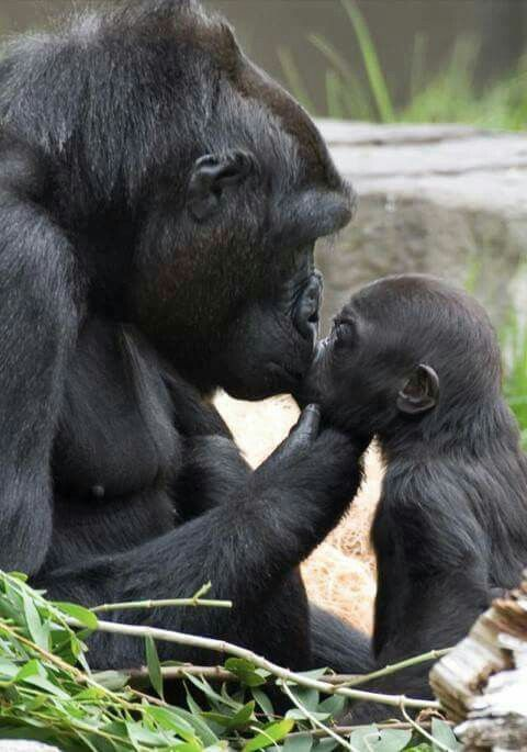 Gorilla love.  And some people say animals don't have emotions like love!