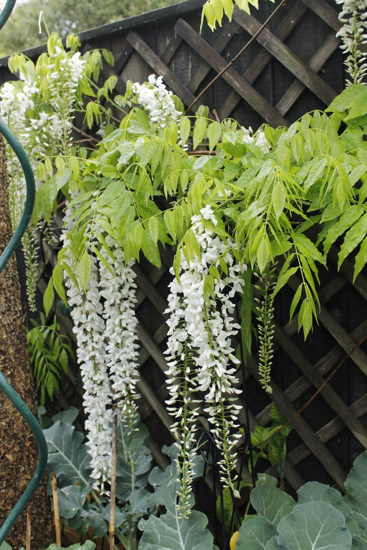 white wisteria Oct 15