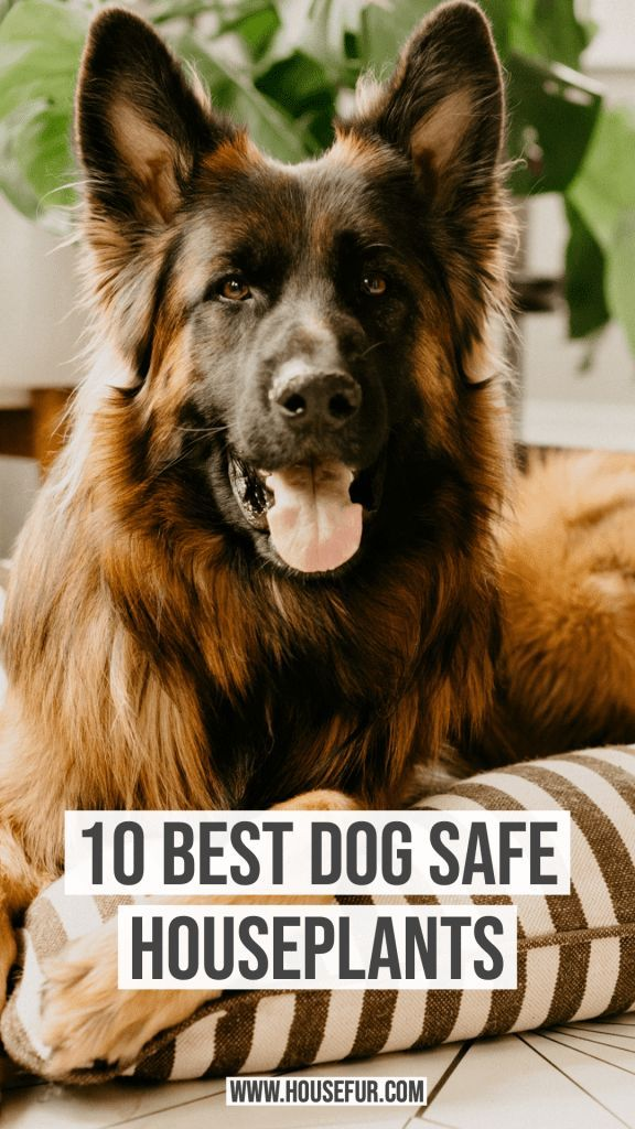 10 Houseplants That Are Safe For Dogs Dogs Houseplants Living