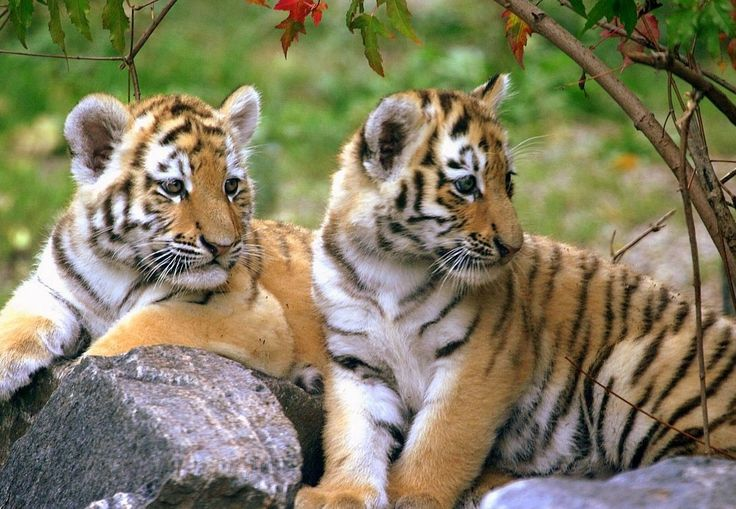 Wild Life Tours In India. India is home to many national parks and within these a fantastic array of wildlife, much of it unique. Wildlife India tours offers packages to the National Parks and Wildlife Sanctuaries of India. Travel to a luxuriant humid jungle and watch the Tigers, Elephants, Rhinos, Birds and many more in the wilderness. Hear the sound of a Panther snarling in the jungle.