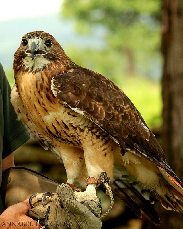 Mejores 132 imágenes de rapaci en Pinterest | Lechuzas, Aves de ...