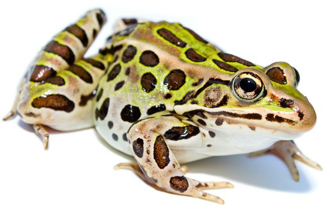 """""""A new species of leopard frog (Anura: Ranidae) from the urban northeastern US"""