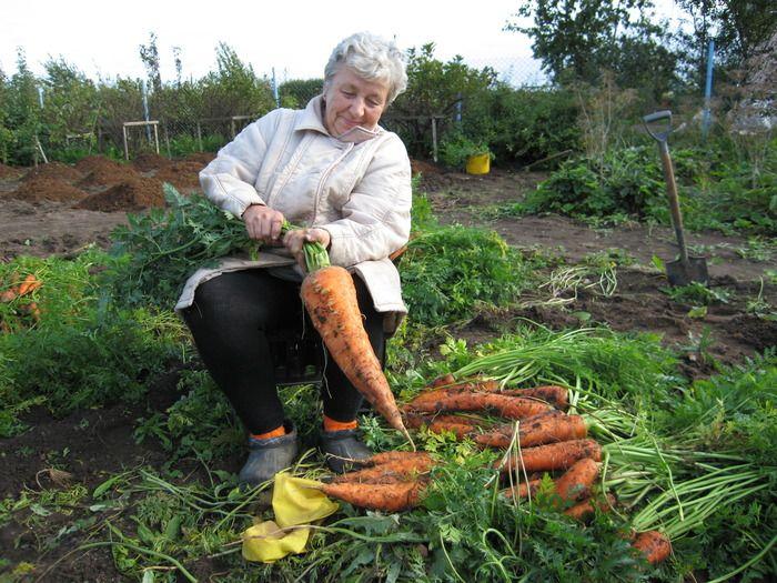 Морковь - сеем, лечим, прореживаем » Женский Мир