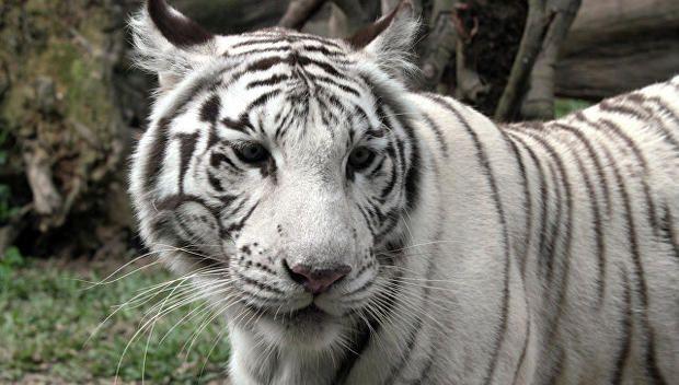 В России некормленые белые тигры напали на работника цирка  http://joinfo.ua/incidents/1195651_V-Rossii-nekormlenie-belie-tigri-napali-rabotnika.html