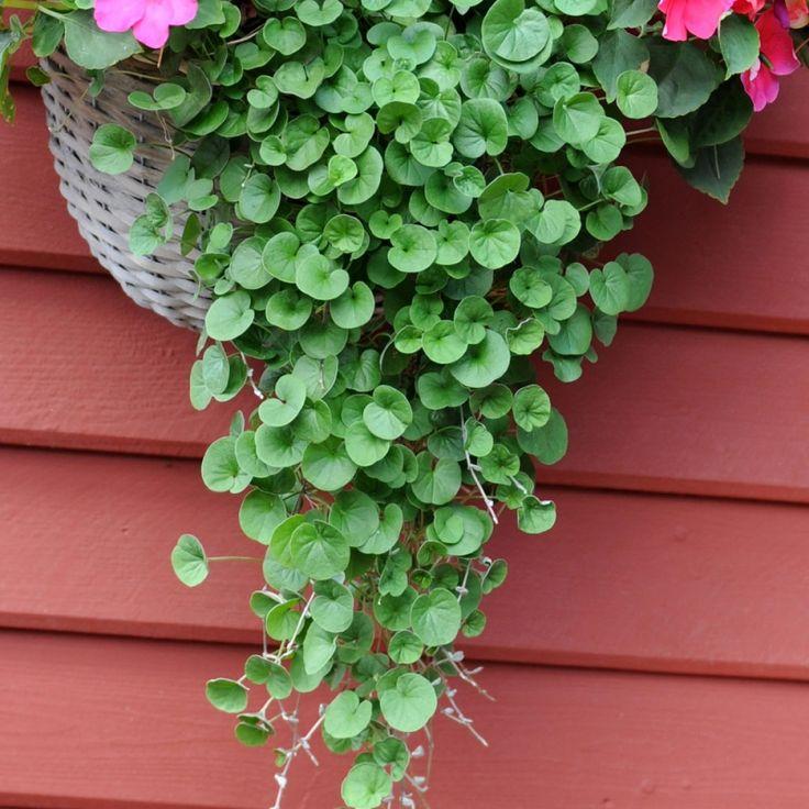 NJURVINDA 'Emerald Falls' i gruppen Ettåriga blomsterväxter / Ampelväxter hos Impecta Fröhandel (83435)