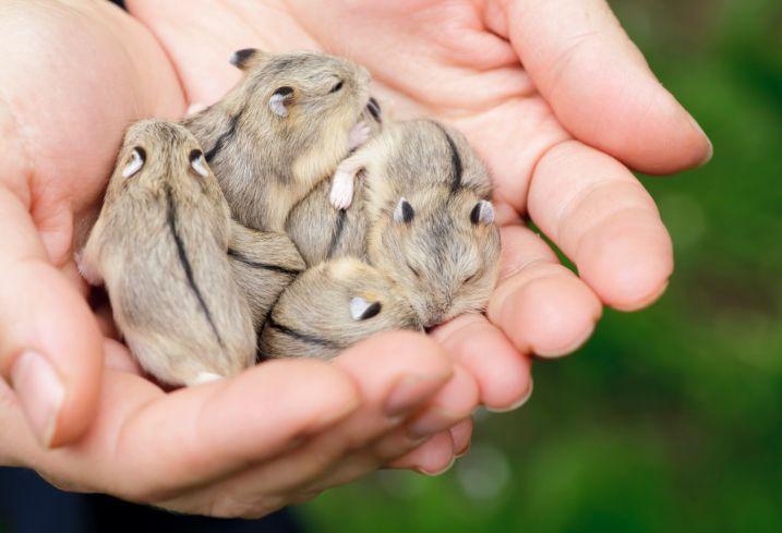 Baby hamsters | Hamsters | Pinterest