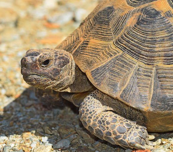 Mediterranean Spur-thighted Tortoise