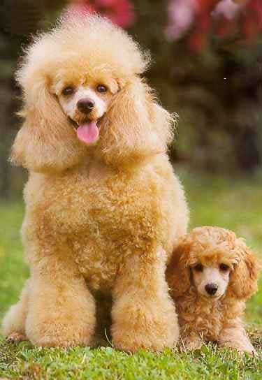 Oh my oh my … soooo pwetty miniature poodles