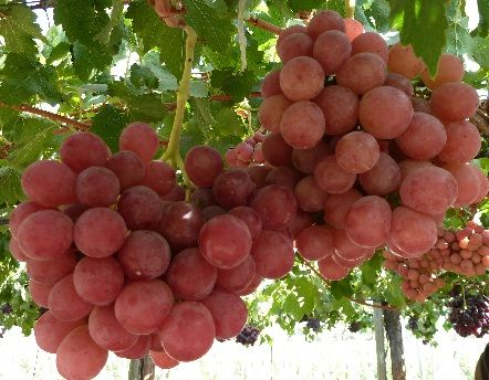 17 best images about grapes on vines on pinterest for Table grapes