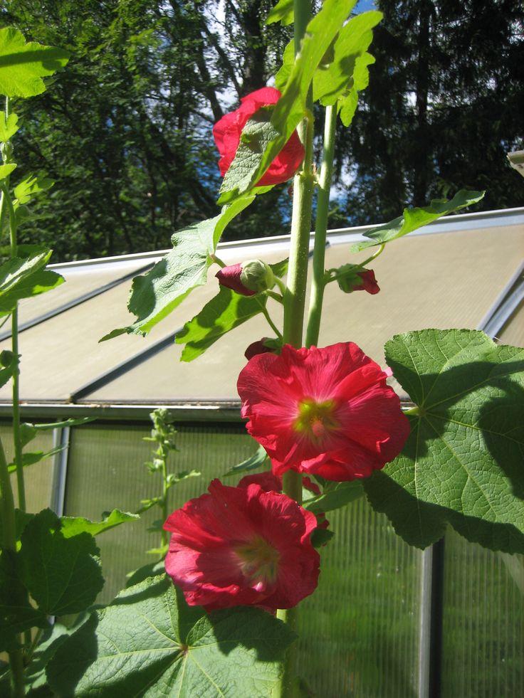 Alcea rosea, salkoruusu