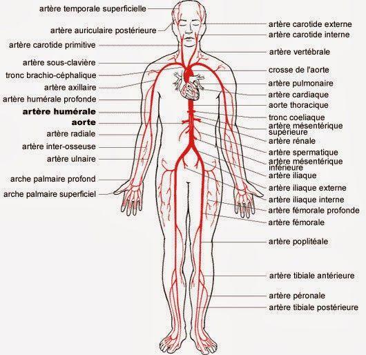 Image result for circulation pulmonaire et systémique