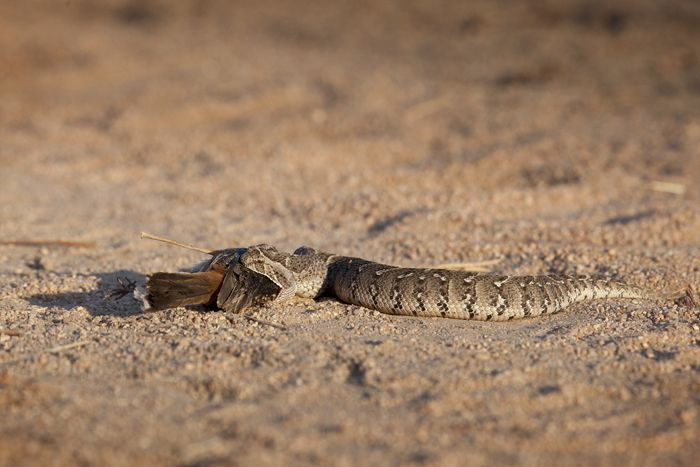 A young puff adder feasts on what looks like a type of robin. This snake has cytotoxic venom, which results in necrosis of the flesh. Despite not being the most venomous snake, it is responsible for more bites and fatalities in Africa than any other snake due to its habit of not moving away from approaching footsteps. Instead it blows out air as a warning, hence the name puff adder. Photograph by Amy Attenborough