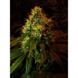 Double Dutch - strain - Serious Seeds | Cannapedia