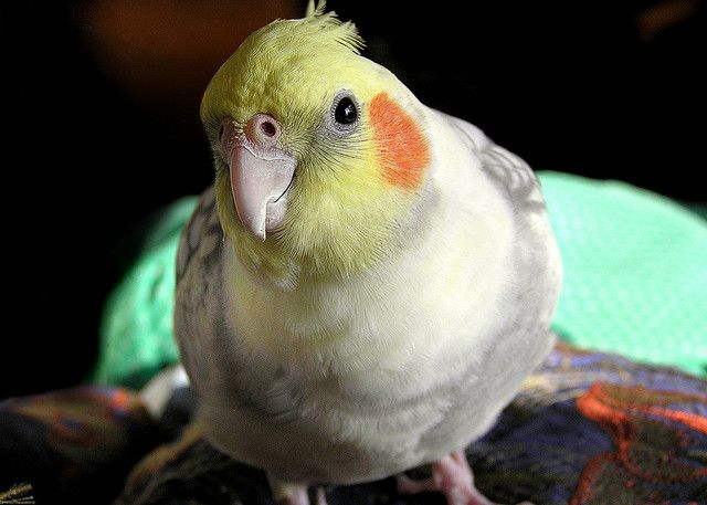 Videos of Squeaky, my late, adorable, pesty therapy bird.