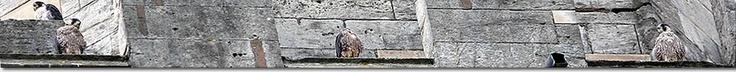 Peregrine Falcons - Worcester Webcam