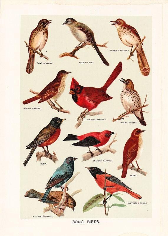 1903 Bird Print  Song Birds  Vintage Antique Art by Holcroft, $18.00