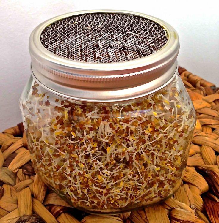 germinados de alfalfa caseros 02 baixa