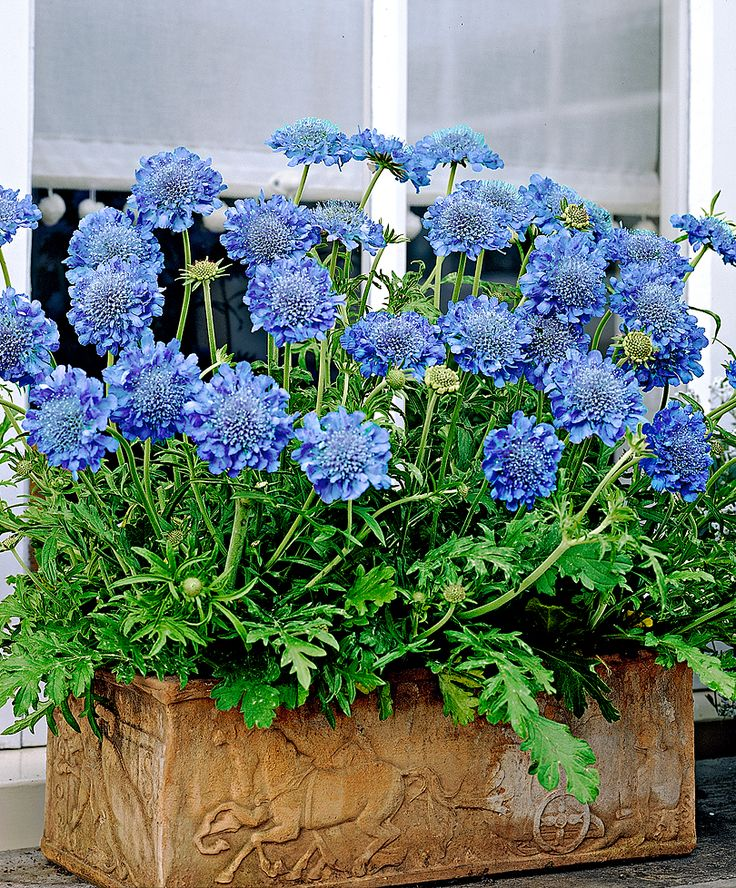 Pretty Pincushion flowers (Scabious japonica Blue Diamonds) in a clay pot
