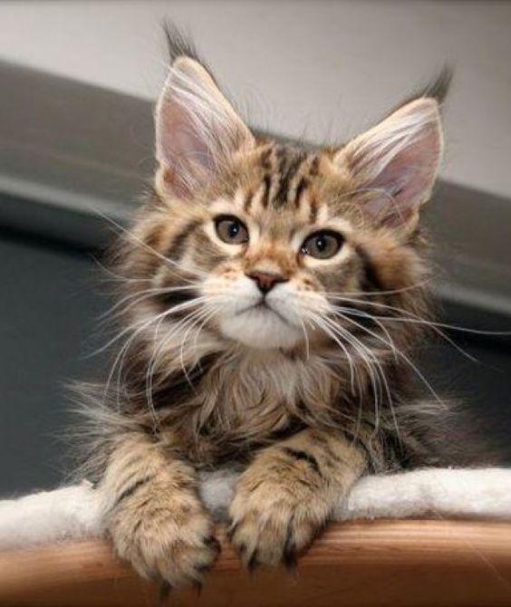 """Maine Coon bebé ... observen la """"M"""" en su frente, las grandes orejas con el penachito en las puntas y los largos bigotes ... estos gatos grandotes son una belleza !!!"""