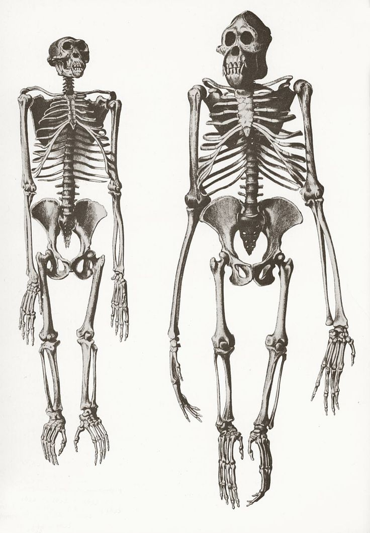 Chimpanzee and Orangutan skeletons