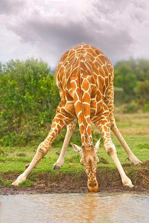 Reticulated Giraffe Drinking Water, Sweetwaters Game Park, Kenya ~ Photo by Jim Zuckerman